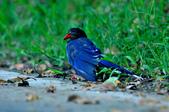 台灣藍鵲  Taiwan Blue Magpie :DSC_2315.JPG