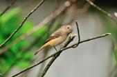 黃尾鴝 Daurian Redstart  :DSC_2291.JPG