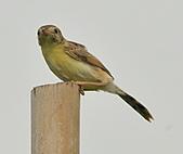 關渡之黃頭扇尾鶯:DSC_0391.JPG