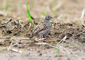 雲雀    Eurasian Skylark  :DSC_8735.JPG