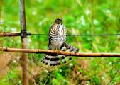 松雀鷹Besra sparrow hawk :DSC_1443.JPG