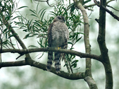 北雀鷹  Northern Sparrow Hawk :DSC_1463.JPG