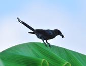 大卷尾Black Drongo  :DSC_3205.JPG