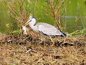 蒼鷺 Grey Heron     :DSC_5760.JPG