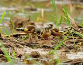 金翅雀  Oriental Greenfinch :DSC_0497.JPG