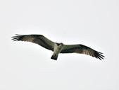 魚鷹 Osprey      :DSC_0272.JPG