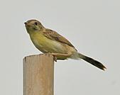 關渡之黃頭扇尾鶯:DSC_0392.JPG