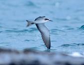 白眉燕鷗Bridled Tern :DSC_0418.JPG