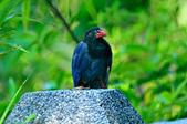 台灣藍鵲  Taiwan Blue Magpie :DSC_2339.JPG