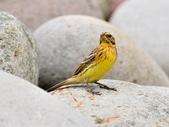金鵐 Yellow-breasted Bunting  :DSC_7194.JPG