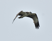 魚鷹 Osprey      :DSC_0442.JPG