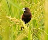 黑頭文鳥:DSC_5176.JPG