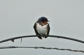家燕  Barn Swallow   :DSC_4603.JPG