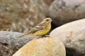 金鵐 Yellow-breasted Bunting  :DSC_7222.JPG