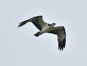 魚鷹 Osprey      :DSC_0447.JPG