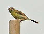 關渡之黃頭扇尾鶯:DSC_0393.JPG