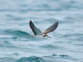 白眉燕鷗Bridled Tern :DSC_0434.JPG