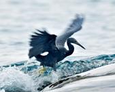 岩鷺  Pacific Reef Egret    :DSC_2094.JPG