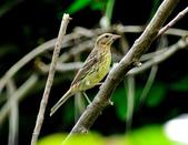 金鵐 Yellow-breasted Bunting  :DSC_6569.JPG