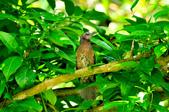 棕耳鵯Chestnut-eared Bulbul :DSC_7350.JPG