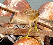 黃小鷺:DSC_4915.JPG