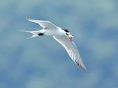 鳳頭燕鷗  Greater Crested Tern :DSC_9005.JPG