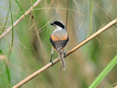 棕背伯勞 Black-headed Shrike  :DSC_2114.JPG
