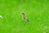 金鵐 Yellow-breasted Bunting  :DSC_6765.JPG