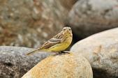 金鵐 Yellow-breasted Bunting  :DSC_7227.JPG