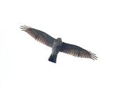 日本松雀鷹Japanese Lesser Sparrow Hawk :DSC_9181.JPG