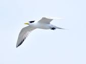 鳳頭燕鷗  Greater Crested Tern :DSC_9015.JPG