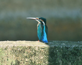 翠鳥  Common Kingfisher   :DSC_2371.JPG