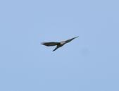 日本松雀鷹Japanese Lesser Sparrow Hawk  :DSC_6088.JPG