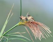 斑文鳥 Nutmeg Mannikin :DSC_6026.JPG