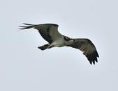魚鷹 Osprey      :DSC_0450.JPG