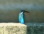 翠鳥  Common Kingfisher   :DSC_2374.JPG