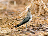 燕鴴 Large Indian Pratincole :DSC_2579.JPG