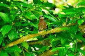 棕耳鵯Chestnut-eared Bulbul :DSC_7343.JPG