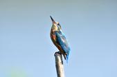 翠鳥  Common Kingfisher  :DSC_2467.JPG