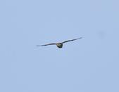 日本松雀鷹Japanese Lesser Sparrow Hawk  :DSC_6090.JPG