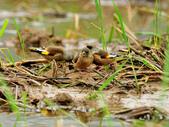 金翅雀  Oriental Greenfinch :DSC_0501.JPG