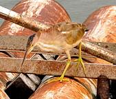 黃小鷺:DSC_4916.JPG