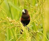黑頭文鳥:DSC_5178.JPG