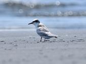 小燕鷗  Little Tern  :DSC_4322.JPG