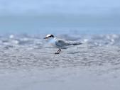 小燕鷗  Little Tern  :DSC_4342.JPG