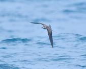 白眉燕鷗Bridled Tern :DSC_0389.JPG