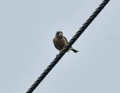 金翅雀  Oriental Greenfinch     :DSC_5352.JPG