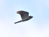 日本松雀鷹Japanese Lesser Sparrow Hawk :DSC_9166.JPG