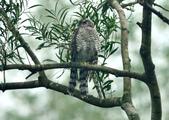 北雀鷹  Northern Sparrow Hawk :DSC_1466.JPG