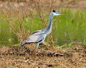 蒼鷺 Grey Heron     :DSC_5774.JPG